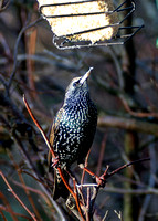 Starling in our back garden