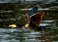 Duck flying up Thurso River